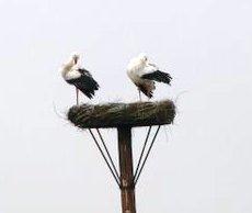 Twee ooivevaars op nest 29 3 10 s