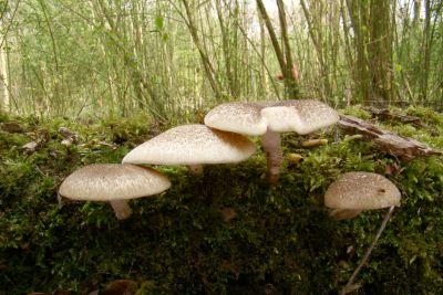 lentinellus tigrinus ne 2009 04 02 small